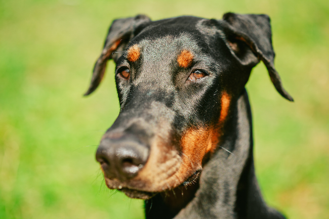 doberman with uncropped ears