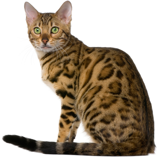 Top 10 Most Popular Cat Breeds