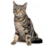 american-shorthair-cat
