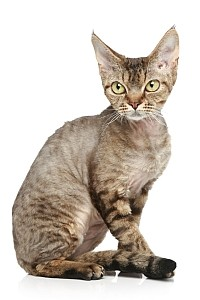 Devon Rex On A White Background