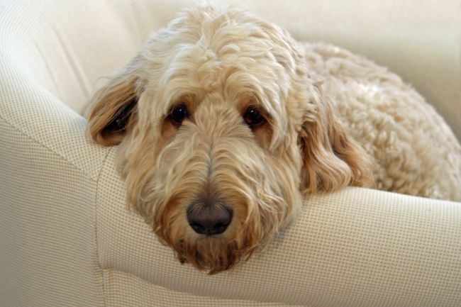 Oodles of Poodles: Crossbreeds and Why They are Growing in Popularity