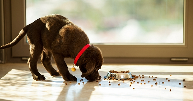 Why Do Dogs Take Food Out of the Bowl Before Eating?