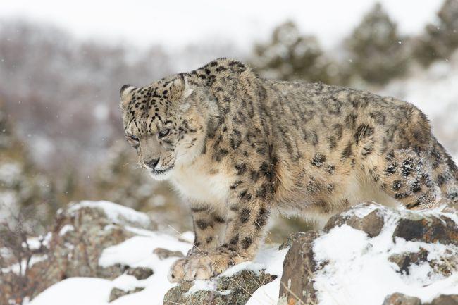 Endangered Wild Cats