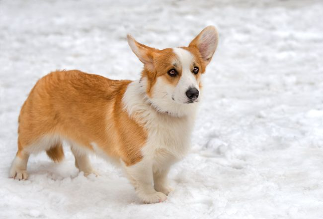 Corgi in snow