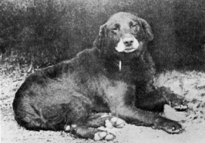 Buccleuch Avon – Father to the Labrador breed