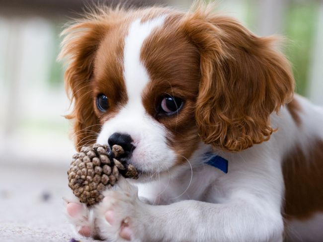 puppy chewing on pine cone