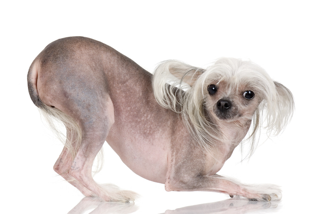 Best Chinese Chubby Adorable Dog - chinese-crested  Gallery_164817  .jpg