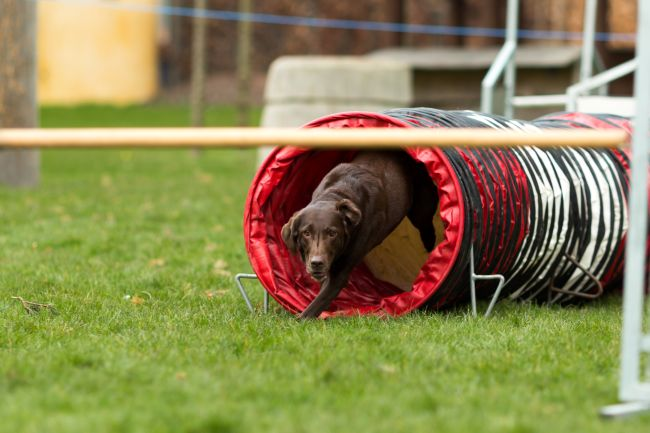 Chocolate lab running an agility course