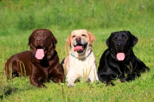 Labrador Retrievers (chocolate, yellow, black)