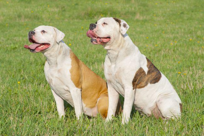 The Bulldog Family