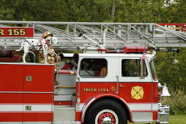 Dalmatian on a fire truck