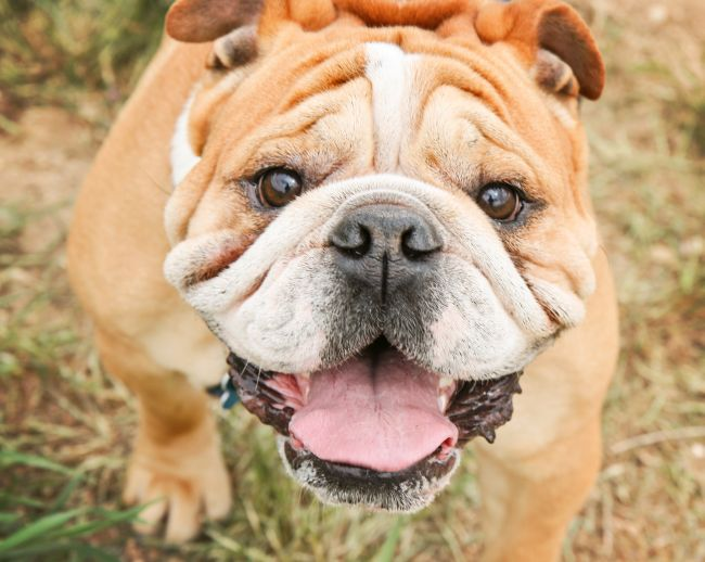 The Challenges of Owning a Bulldog