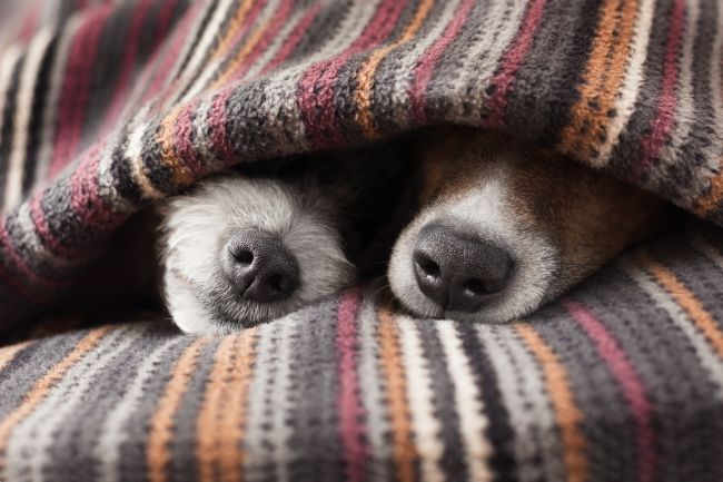 Image result for dogs and blankets image