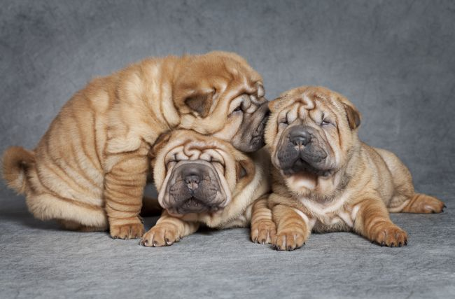 Dog Breeds With Wrinkles