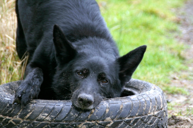 dog chewing on car tire