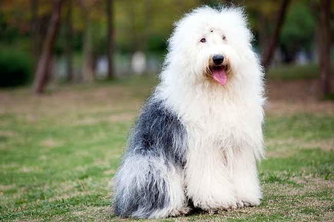 Top Ten Long Haired Dog Breeds