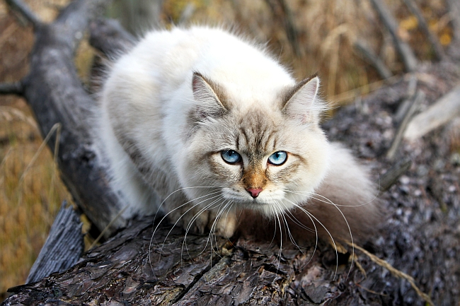 Best Cold Weather Cat Breeds