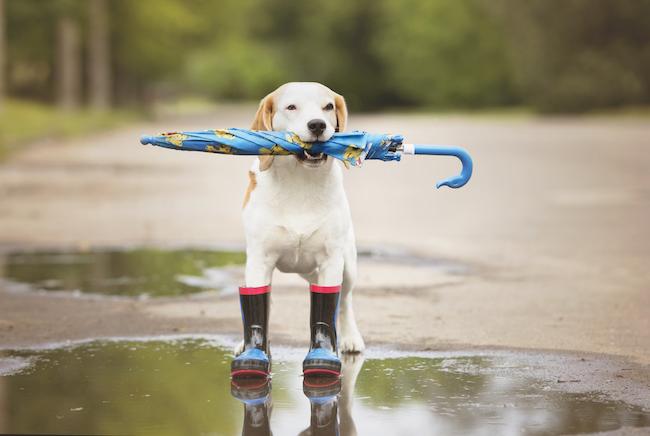 Beagle with umbrella