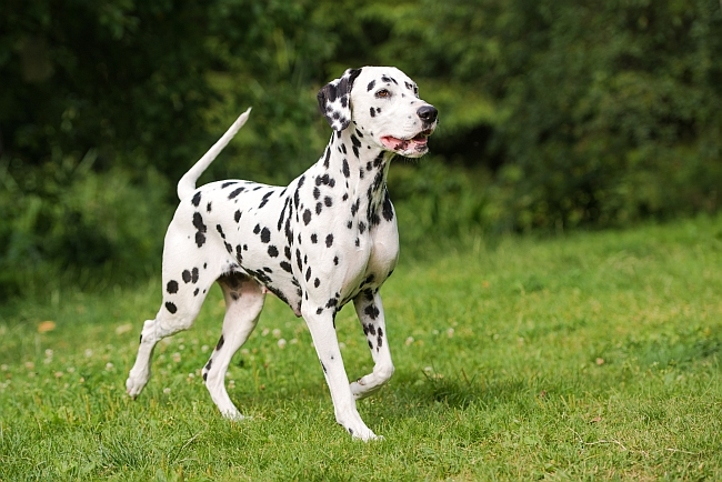 15 Shorthair Dog Breeds - Pet Care Facts