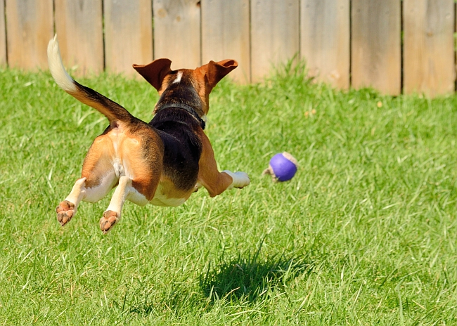 Facts About Beagles