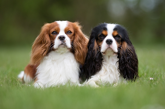 Why We Adore Cavalier King Charles Spaniel Dogs