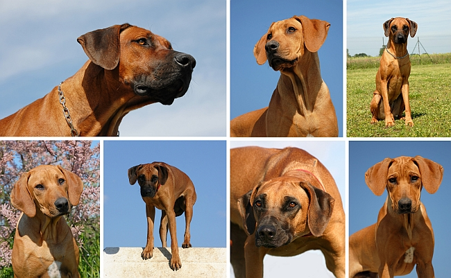 Rhodesian-Ridgeback-collage