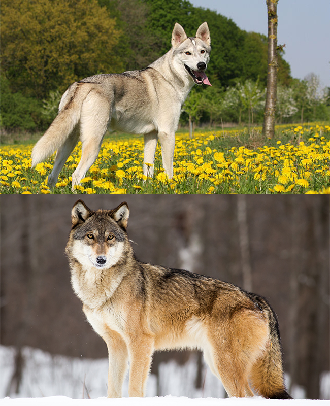 Tamaskan (top) & Wolf (bottom)