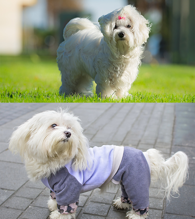 Maltese (top) & Bichon Frise (bottom)