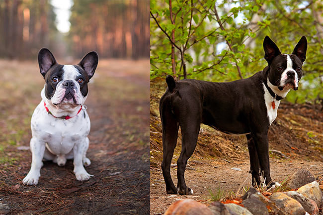 French Bulldog (left) & Boston Terrier (right)