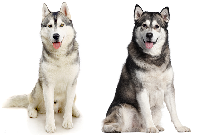 Husky (left) & Malamute (right)