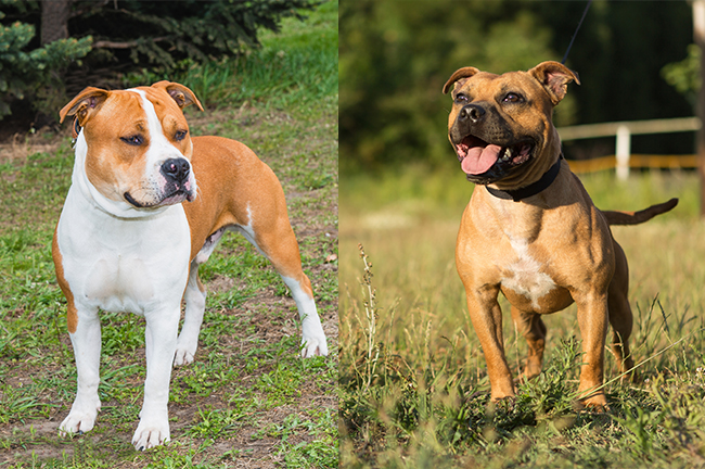 Staffordshire Terrier (left) & Pitbull Terrier (right)