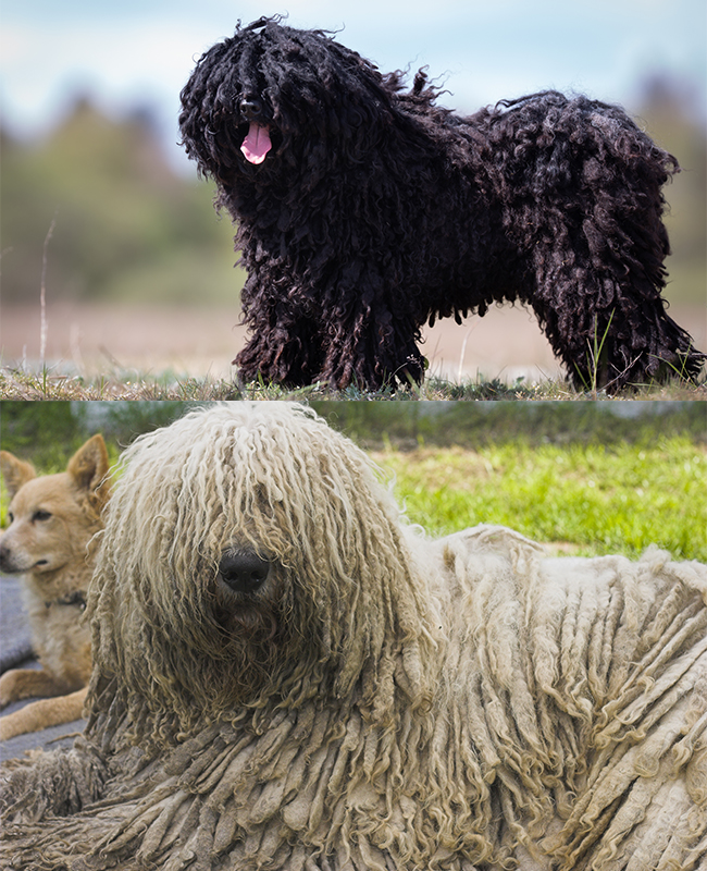 Puli (top) & Komondor (bottom)