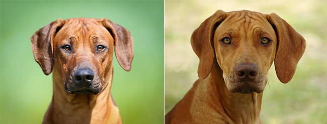 rhodesian-ridgeback-nose-coloration