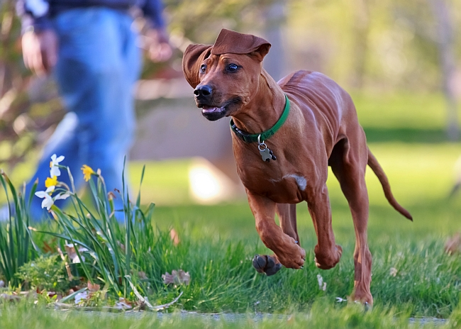 Fit and toned- activity and animal socialization paramount in a Rhodesian Ridgeback's healthcare