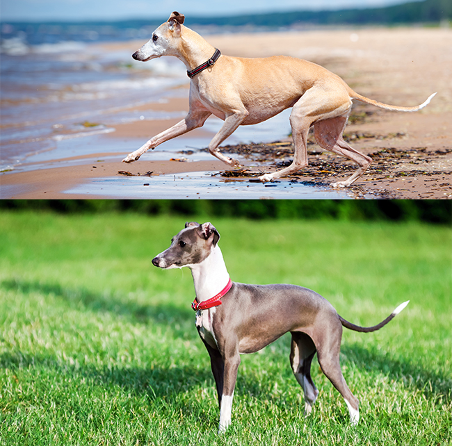 Whippet (top) & Italian Grayhound (bottom)