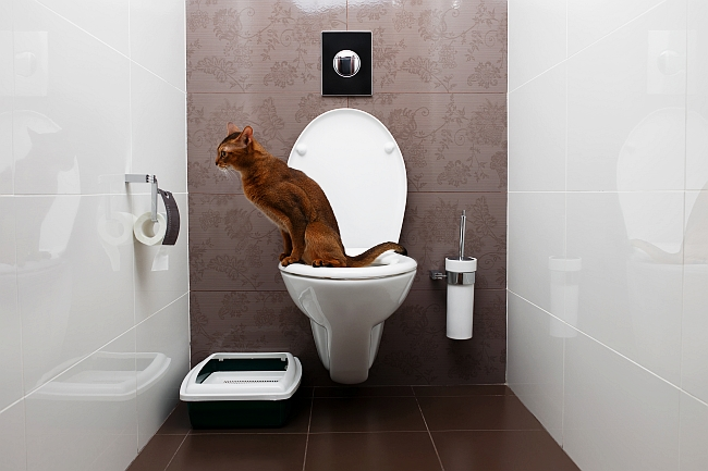 abyssinian cat on toilet