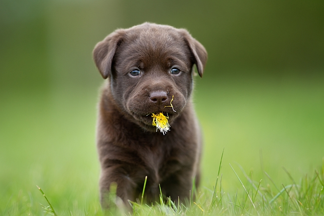 How to Stop Puppies From Eating Poop