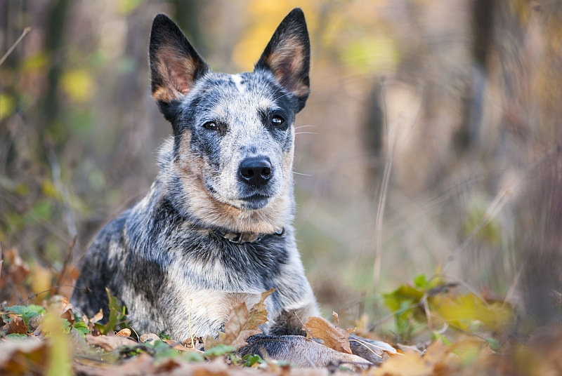 Blue Heeler (Australian Cattle Dog)