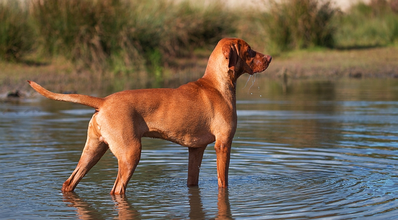 vizsla standing in water