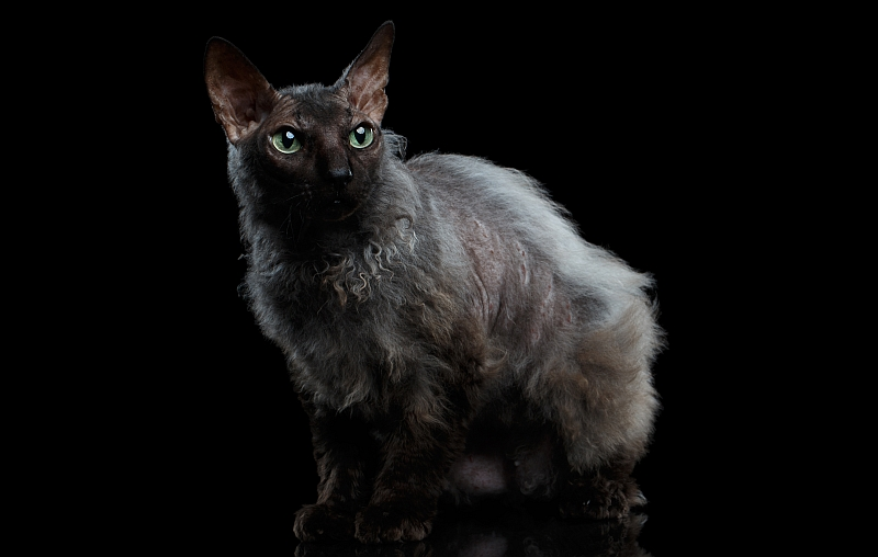 The Werewolf Cat