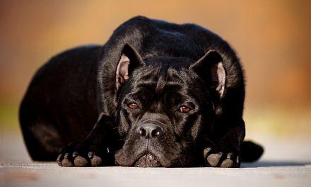 Molosser Dog Breeds