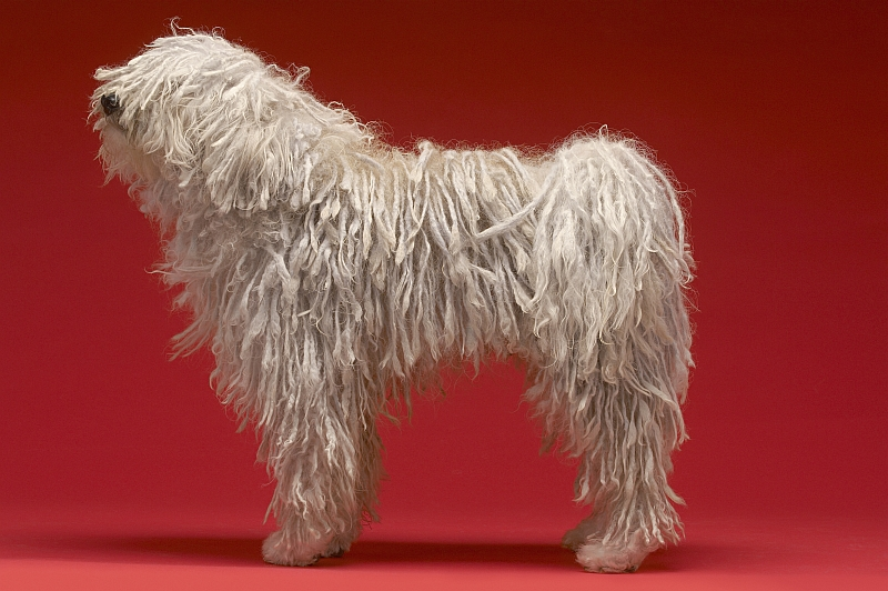 Komondor - Hungarian Sheepdog