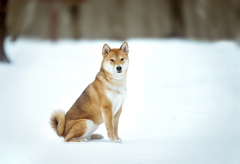 Japanese Hunting Dog Breeds