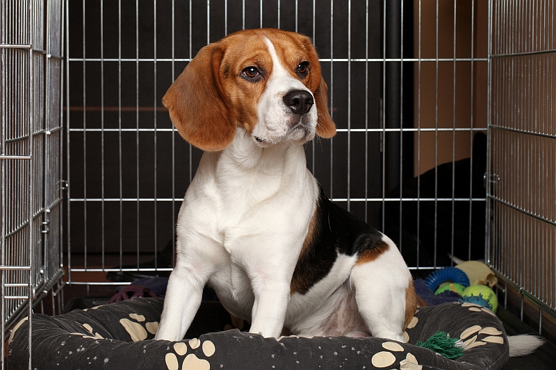 Beagle in a wire dog crate