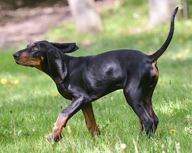 American Dog Breeds