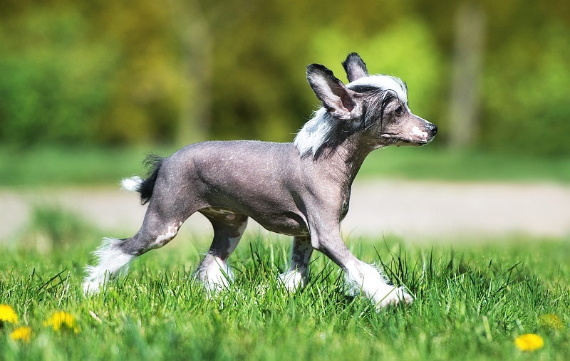 Hairless Dog Breeds