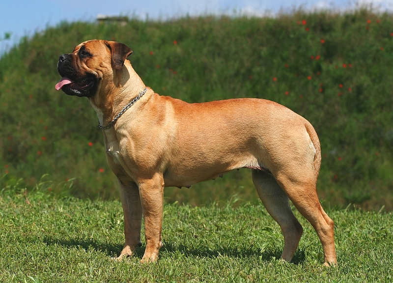 Engish Mastiff profile