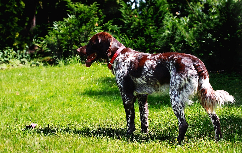 French Spaniel dog