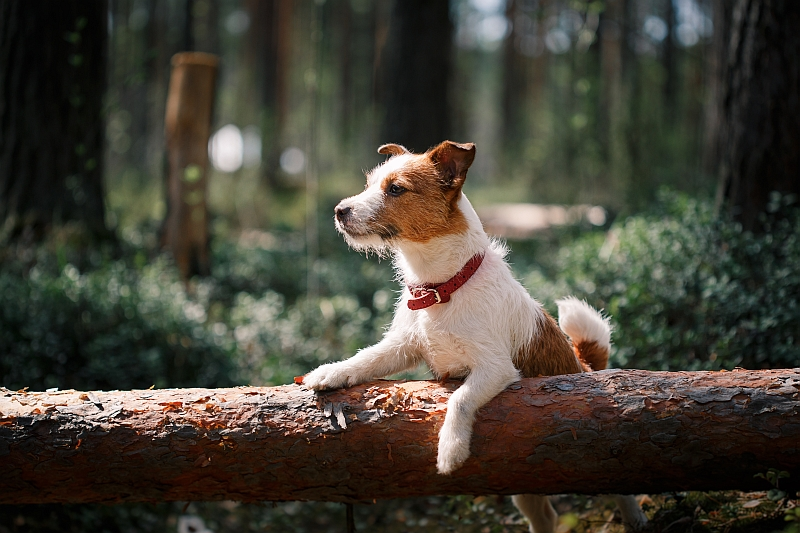 Jack Russell Terrier in forest